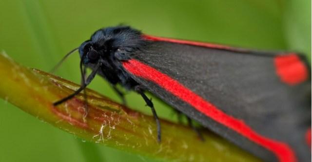 Adult-Cinnabar-Moth-on-Ragwort-scaled.jpg