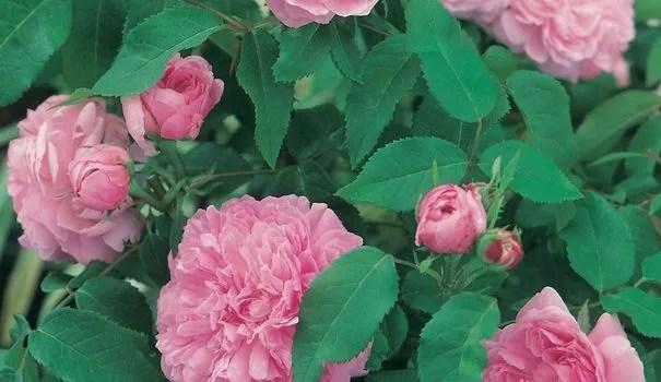 Top 5 des rosiers 100 succs garanti  Ct Maison