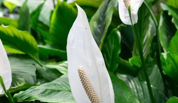 spathiphyllum plantation entretien