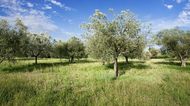 Planter un olivier dans mon jardin  Ct Maison