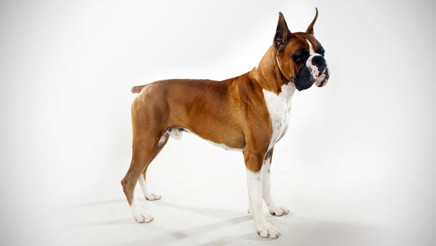 https://i0.wp.com/static.ddmcdn.com/en-us/apl/breedselector/images/breed-selector/dogs/breeds/boxer_04_lg.jpg