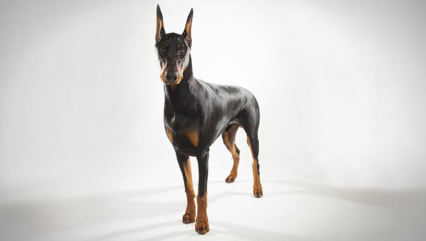 doberman pinscher 01 lg Dog 101 Pitbull Animal Planet