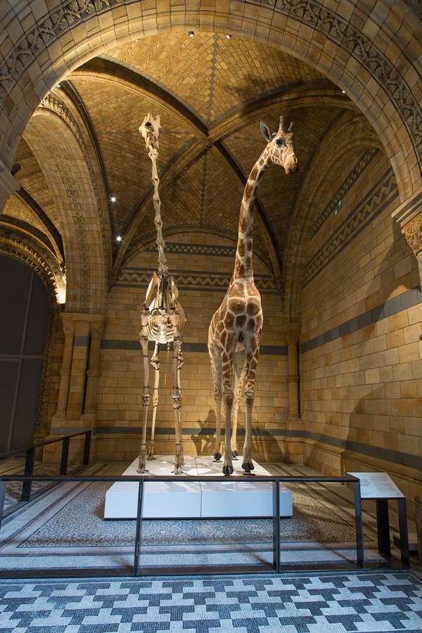 London' Natural History Museum Unveils Blue Whale Skeleton