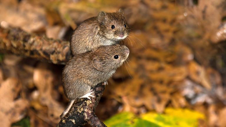 Hantavirus: Mäusekot kann krank machen · Dlf Nova