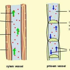 Flower Parts Diagram Without Labels Stratocaster Wiring Treble Bleed Phloem Vs Xylem - Difference And Comparison | Diffen