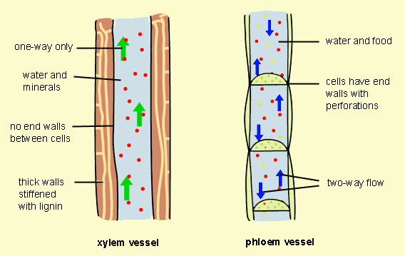 flower parts diagram without labels 2006 chrysler sebring fuse phloem vs xylem - difference and comparison | diffen