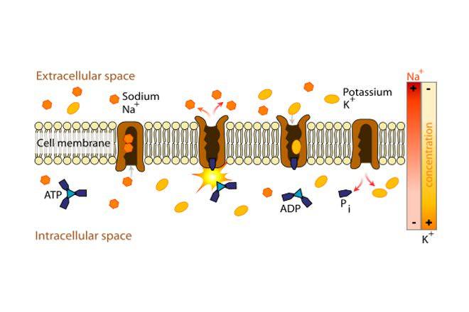 cell transport venn diagram