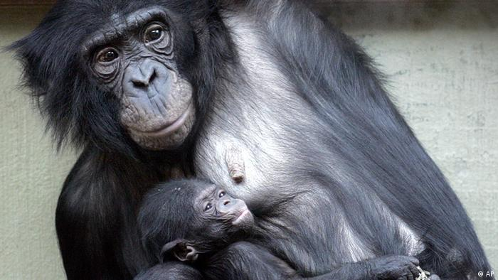 Карликовые шимпанзе (бонобо) в Вуппертальском зоопарке