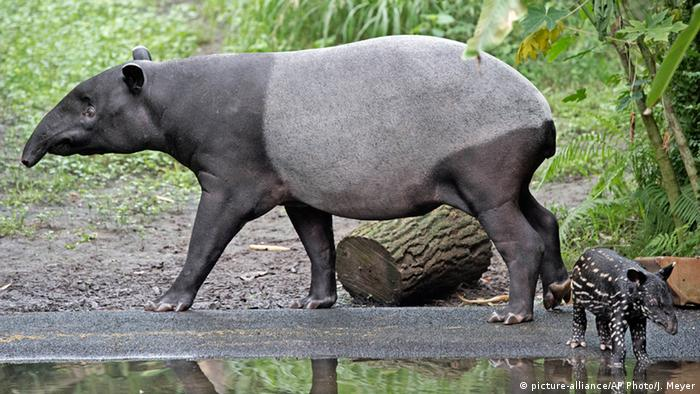 Тапиры в тропическом павильоне Лейпцигского зоопарка
