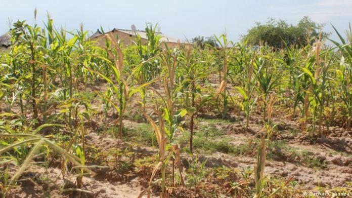 Wilting maize crops in Zimbabwe