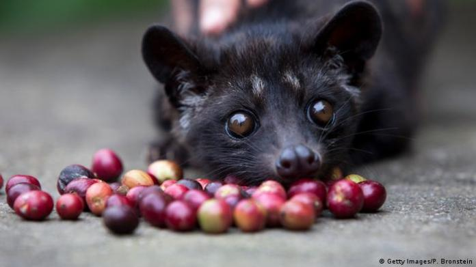 Indonesia Coffee made from the excrement of Fleckenmusang's alamid beans (Getty Images / P. Bronstein)