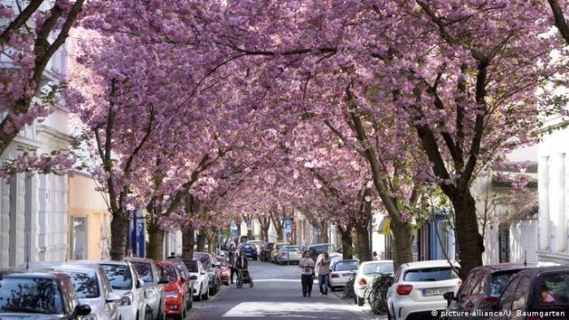 Kirschblüte in der Altstadt von Bonn. (picture-alliance/U. Baumgarten)