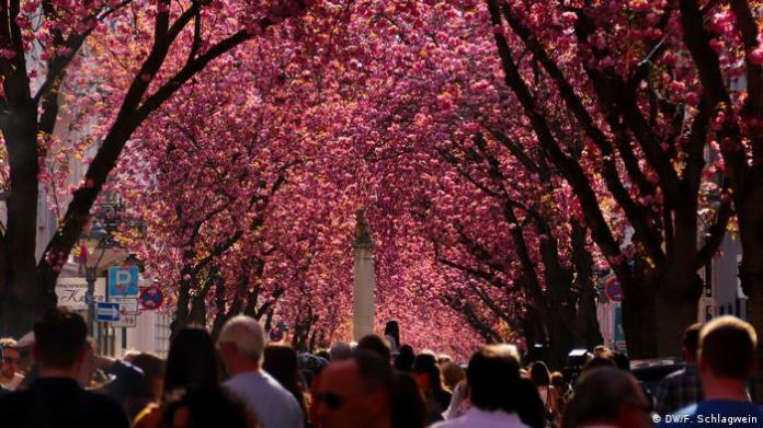 Bonn - cherry blossoms in the Heerstraße (DW / F. Schlagwein)