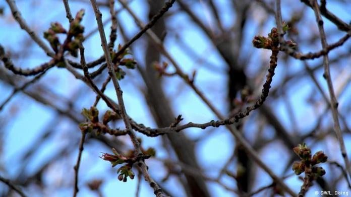 Buds before the Bonn cherry blossom 2020 (DW / L. Döing)