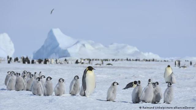 A group of baby and adult emperor penguins