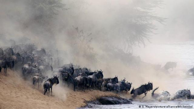A herd of wildebeest kicking up plumes of dust as they move