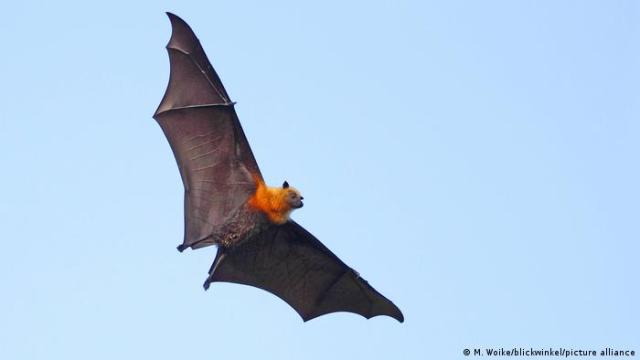 Flying Fox in the air with full wingspan