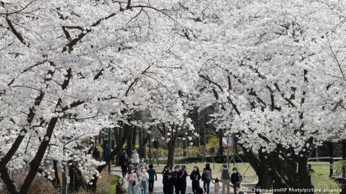 Large cherry trees with many white flowers. People with masks walk among them.