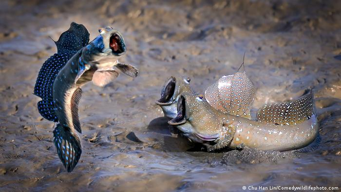 Three Mudskipper fish, one of them appears to be jumping while the two others watch in awe.