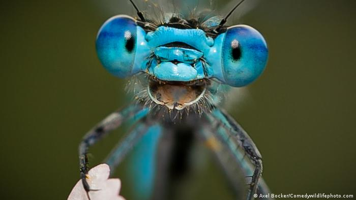 a blue damselfly that appears to be smiling.