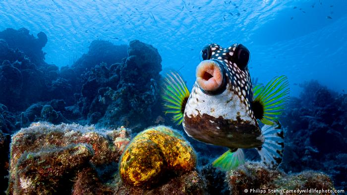 A box fish appears to want to give the photographer a smooch.