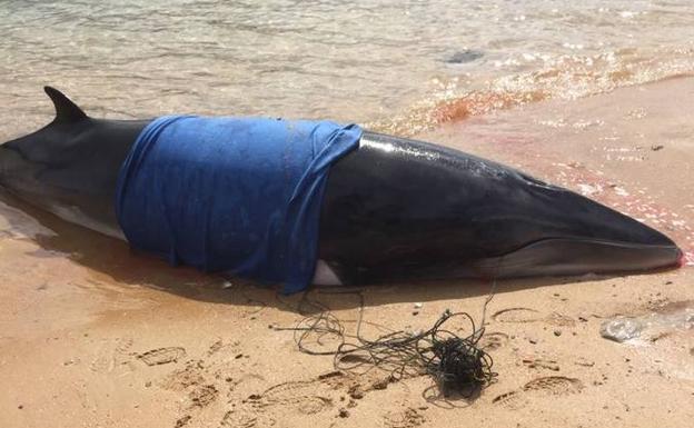 Un rorcual vivo fue devuelto al mar en abril en Santander/Foto: Cruz Roja