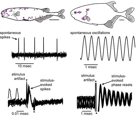 Fish talk to each other electrically