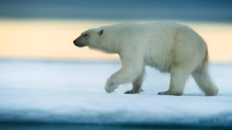 Teach Besides Me Polar Bears Adapting To Their Environment