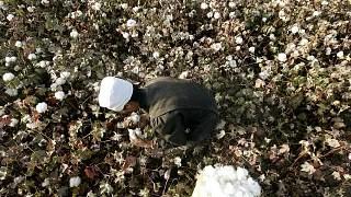 Doğu Türkistan'da pamuk tarlasında çalışan bir işçiç
