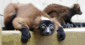 lemure cattivita