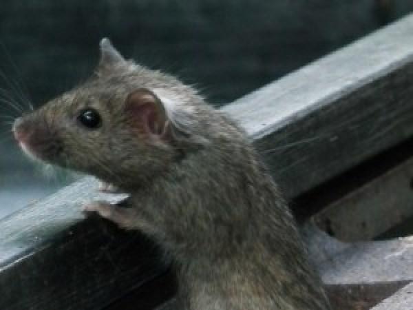 Arrivano i super-topi che resistono ai veleni.