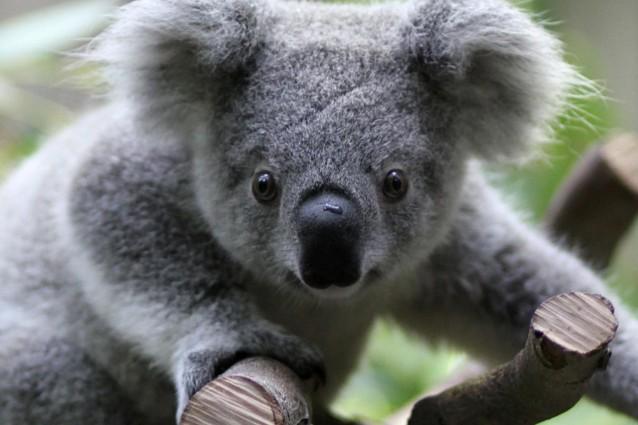 Il koala e i pericoli per il suo popolo.