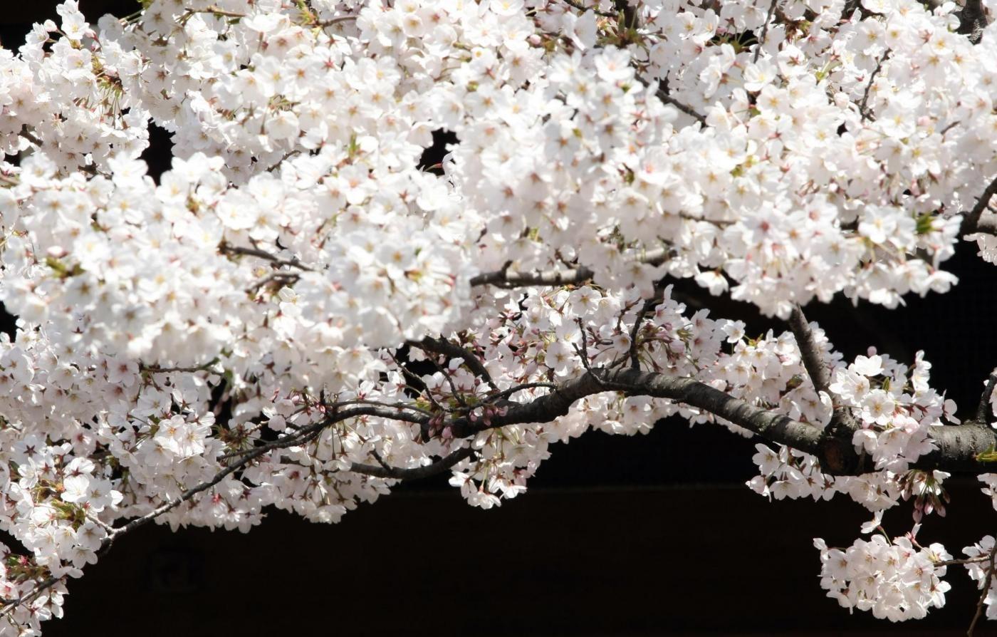 Hanami la bellezza dei ciliegi in fiore allOrto Botanico di Roma