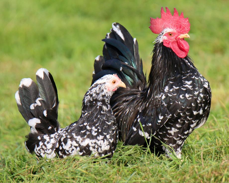 Chabo cailloute  coq et poule de race  la Ferme de Beaumont