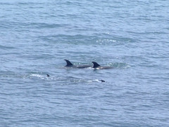 The Dolphins Of Coromandel