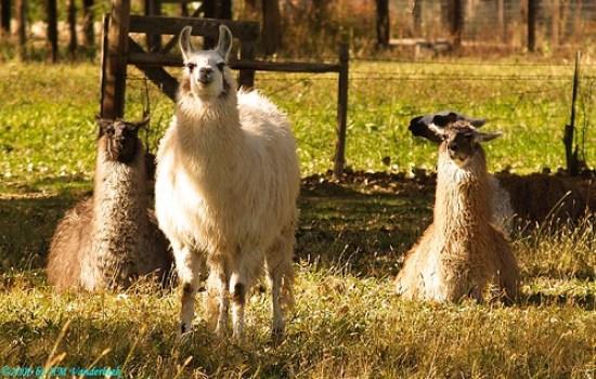 Llamas or Alpacas?