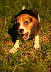 Maggie the Puppy (by Matt Stratton)