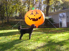 Mikes-Pumpkin-and-our-poodle-Scout