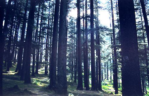 Manali Trees
