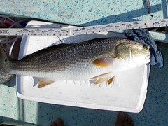 26inchRedFish