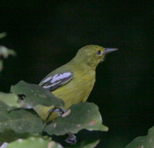 IMG_0360 Common Iora