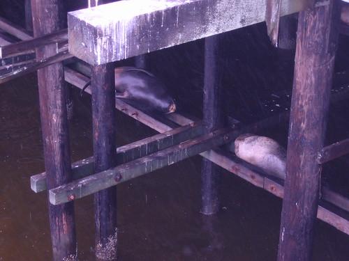 Sea lions bunking under the Santa Cruz Wharf
