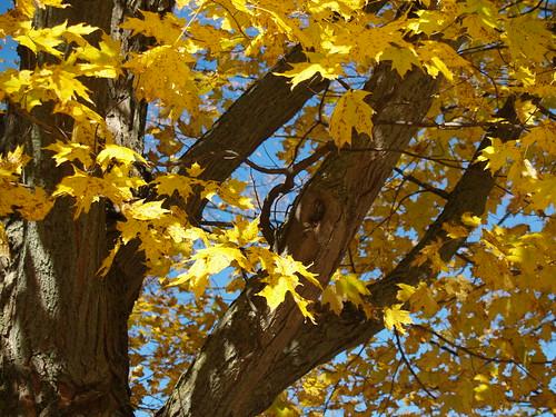 Yellow Maple II - photo by Andrew McFarlane