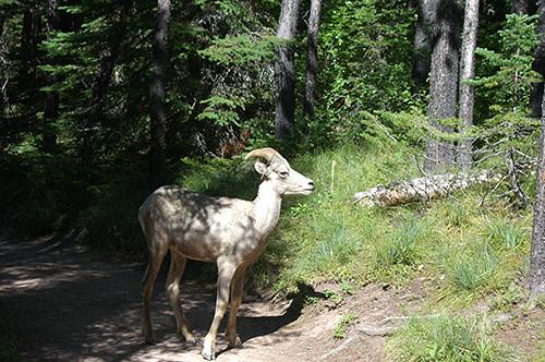 Waterton Lake - Sheep on path 2