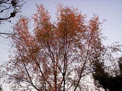 Birch tree in sunlight 3