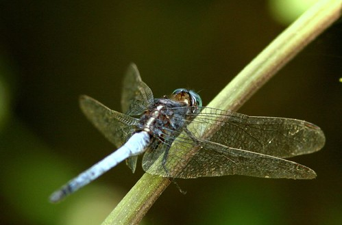 IMG_0440 Blue-Tailed Dragonfly