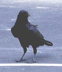 Brave Raven (closer)