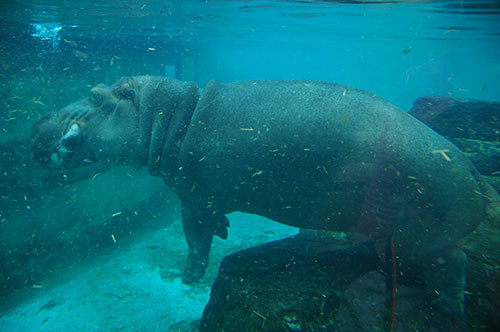 Hippo Diving