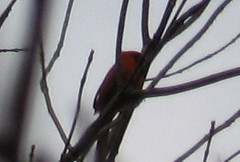 Cardinal_Mass_Trail_Dec_2006