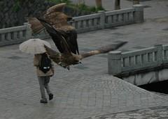 Birds of prey in Kyoto 2